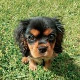 cavalier_puppy