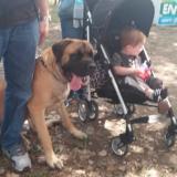 mastiff_and_baby