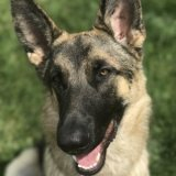 german_shepherd_buddy