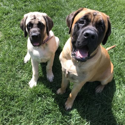 happy_mastiffs