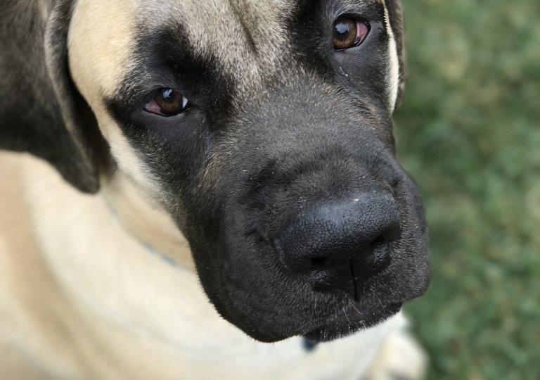 mastiff_puppy