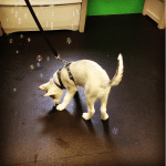 husky_bubbles